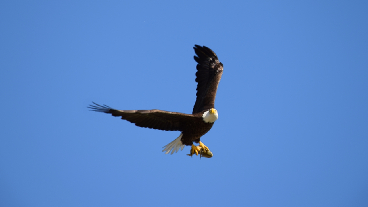 bald eagle turning back to me